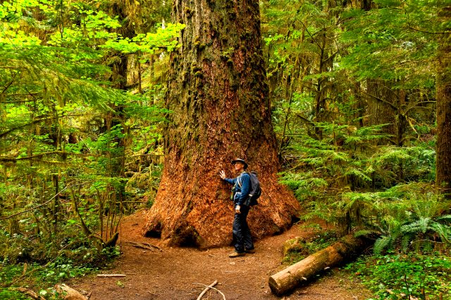 Large Cedar in Olympic National Park Copyright 2008 by Blair Atherton